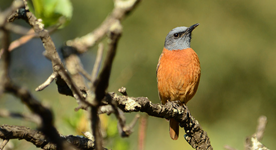 Male Cape Rock Thrush Bird Thendele Camp Royal Natal Park uKahlamba Drakensberg Park Amphitheatre Self Catering Family Accommodation South Africa