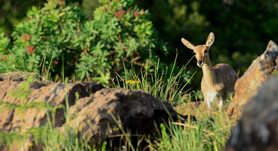 Mountain Reedbuck Thendele Camp Northern Drakensberg Royal Natal Park Self-Catering Accommodation South Africa