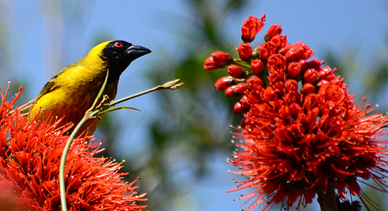 Southern Masked Weaver,Self-Catering,Thendele Camp,Drakensberg,Accommodation,